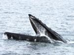 ballena-jorobada-2-j-acevedo-biomarina-umag