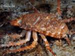 glyptonotus-antarcticus-biomarina-umag2015