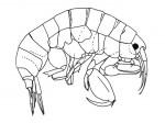 leucothoe-kawesqari-biomarina-umag-th