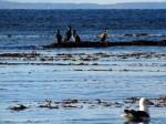 Aves en el Estrecho de Magallanes - Proyecto de Tesis Biología Marina UMAG 2019 - Larus dominicanus - Phalacrocorax atriceps