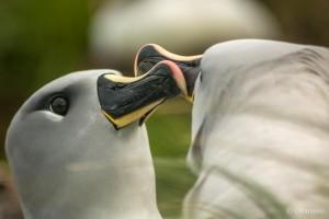 Los albatros, una de las especies que anidan en el Parque Marino Islas Diego Ramírez-Paso Drake (Foto Omar Barroso)