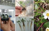 Biotecnología en el fin del mundo: conservando y diversificando la flora en la Región de Magallanes