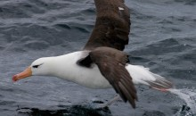Albatros en Reserva de Biosfera Cabo de Hornos. Foto: Jordi Plana.