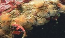 eudistoma magalhaensis